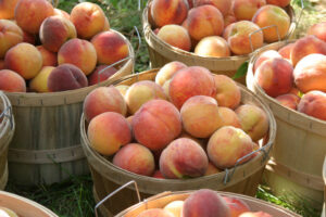 King Orchard's Fresh picked Red Haven Peaches in a half bushel basket.