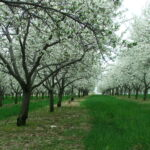 montmorency tart cherry trees in bloom in Northern Michigan near Traverse City