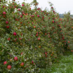 Honeycrisp apple trees on vertical axis with a heavy crop near Traverse City in Northern Michigan