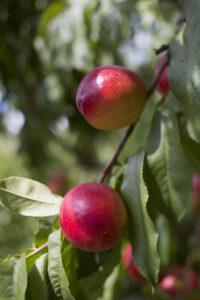 tree ripened nectarines in Northern Michigan near Traverse City