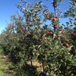 Michigan Gala apples on dwarf trees in Central Lake near Traverse City