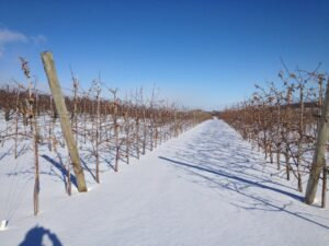 King Orchards U-Pick Honeycrisp trees don't mined the cold and snow