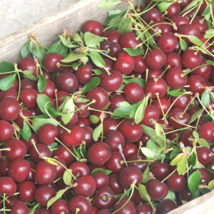Balaton tart cherries in the lug