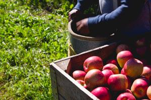 Apple-Picking-5