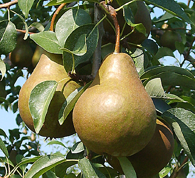 Bosc pears from King Orchards
