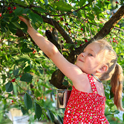 pick your own cherries at King Orchards offers an inexpensive family friendly activity in Northern Michigan