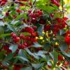 Montmorency tart cherries on the tree